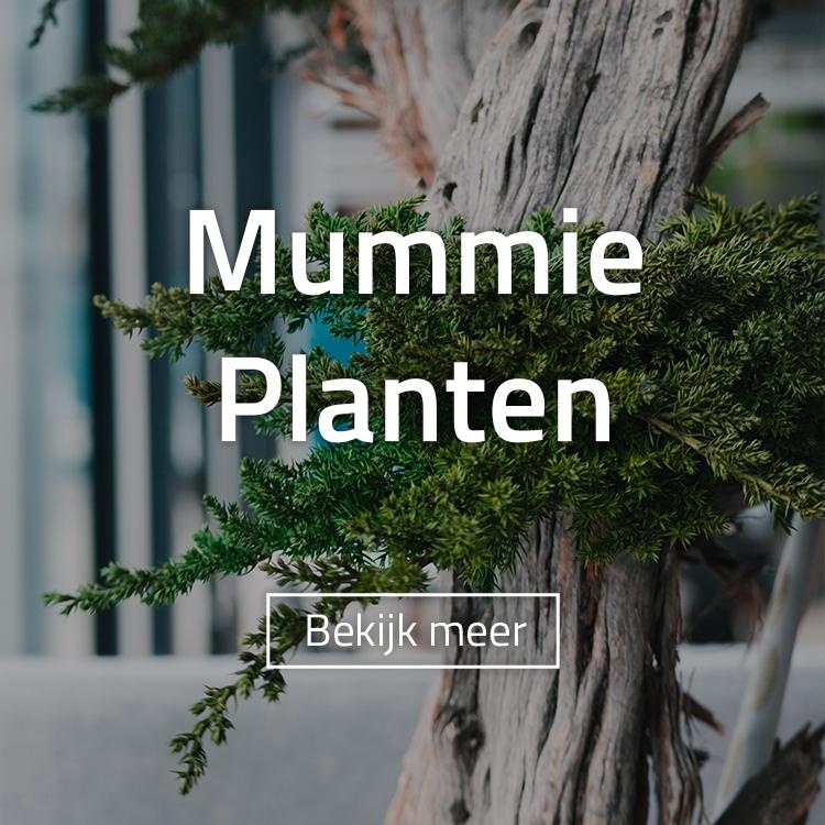Mummy planten